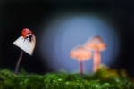 Ladybird on a toadstool