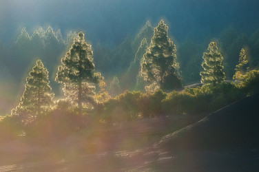 Double exposure of Canary Island pines with early morning backlight